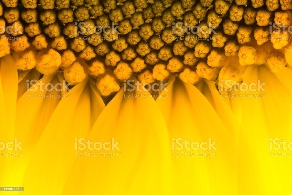 Bright yellow sunflowers sun flower close up in field garden stock photo