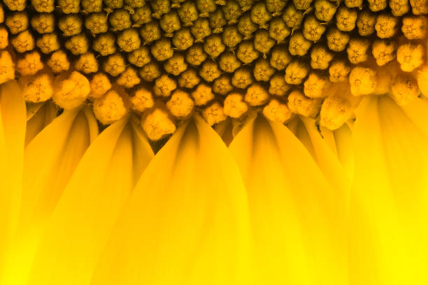 bright yellow sunflowers sun flower close up in field garden - stamen stock photos and pictures