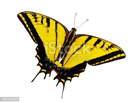 Bright yellow two-tailed swallowtail butterfly, Papilio multicaudata, isolated on white background. The largest of North American tiger sawllowtails. This butterfly actually has 3 tailes on each wing