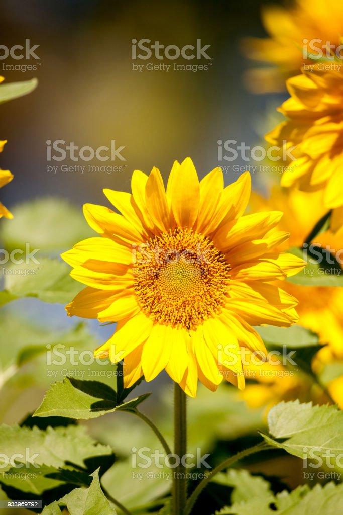 Bright yellow Vincent fresh sunflower Helianthus annuus stock photo