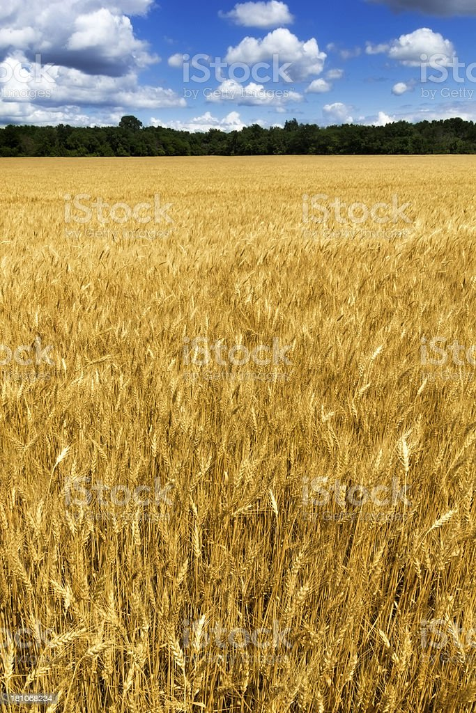 Bright Yellow Wheat Field Under Deep Blue Sky and Clouds royalty-free stock photo