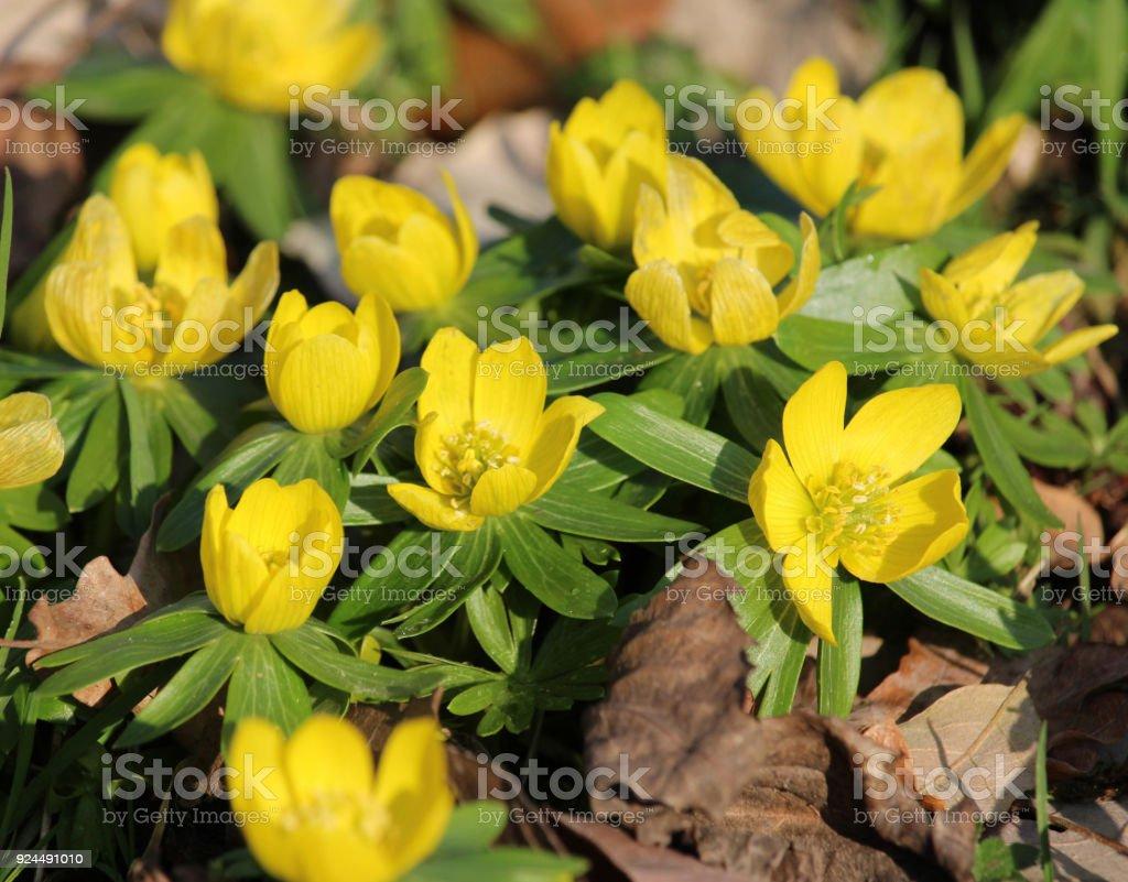 Bright Yellow Wood Anemone Flowers stock photo