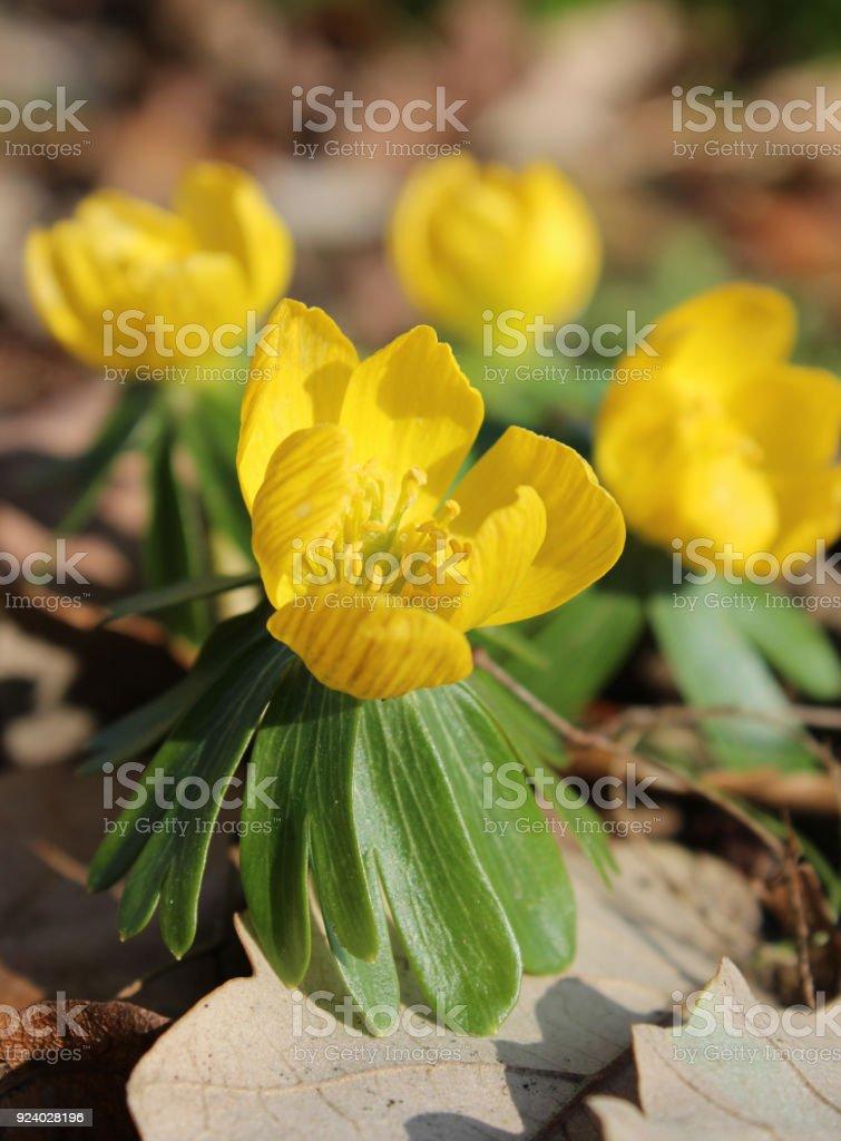Bright Yellow Wood Anemone stock photo