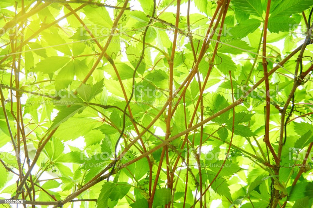 Bright young green foliage. Abstract background. zbiór zdjęć royalty-free