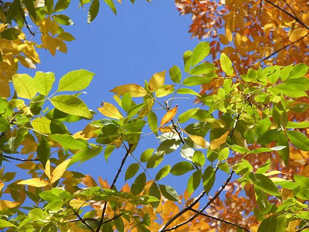bright-colored autumn tree leaves against clear blue sky - belkindesign stock pictures, royalty-free photos & images