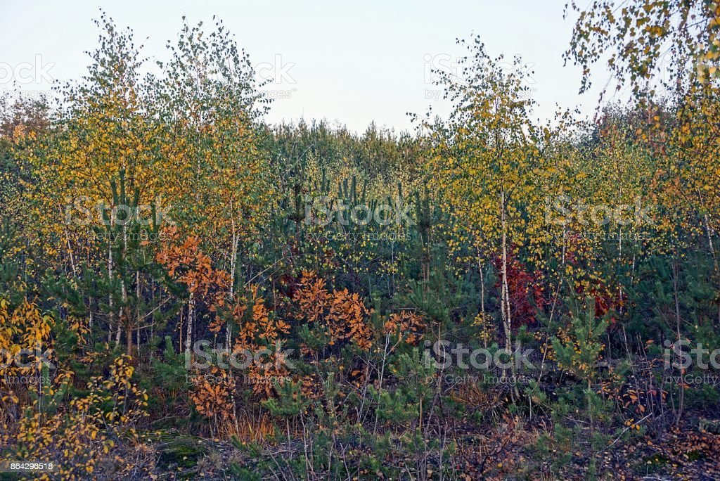 brightly colored deciduous trees and pines in the autumn forest royalty-free stock photo