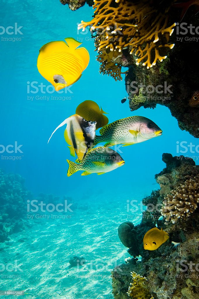 Brightly colored fish swimming through a coral reef stock photo