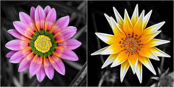 Brightly colored Garzania flowers against a black and white background stock photo