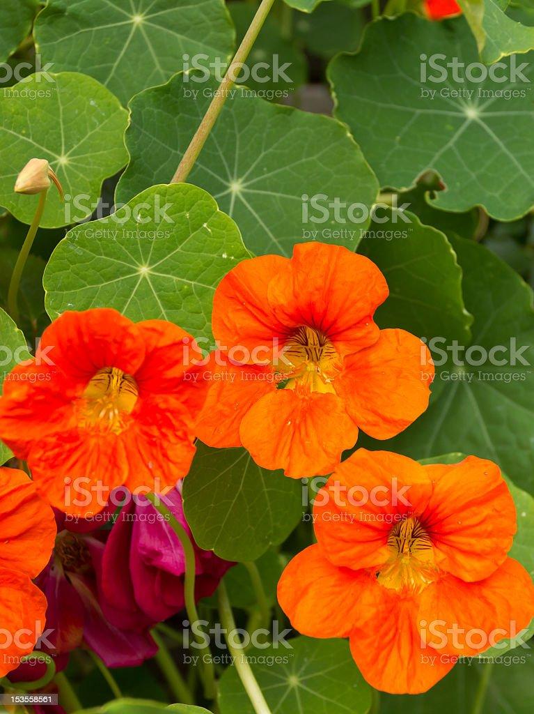 Photo De Stock De Capucine Fleurs De Couleur Vive Images Libres De
