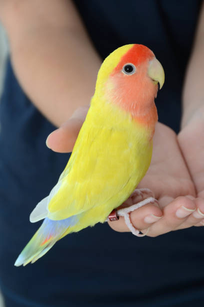 Brightly Colored Peach-Faced Lovebird in Hands stock photo