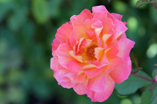 A rose bush macro.