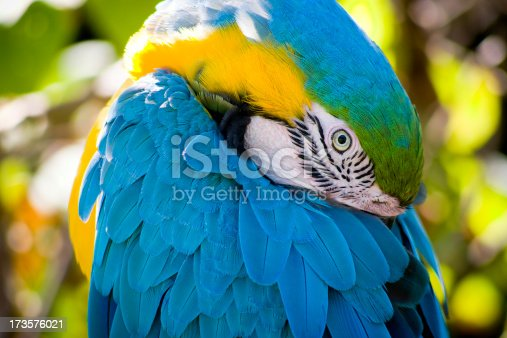 This beautiful Blue and Gold Macaw was resting with his beak tucked neatly under his wing; his brightly colored plumage with the out of focus matching highlights behind made for a very interesting portrait.