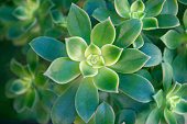 close up horizontal view of vivid green succulents