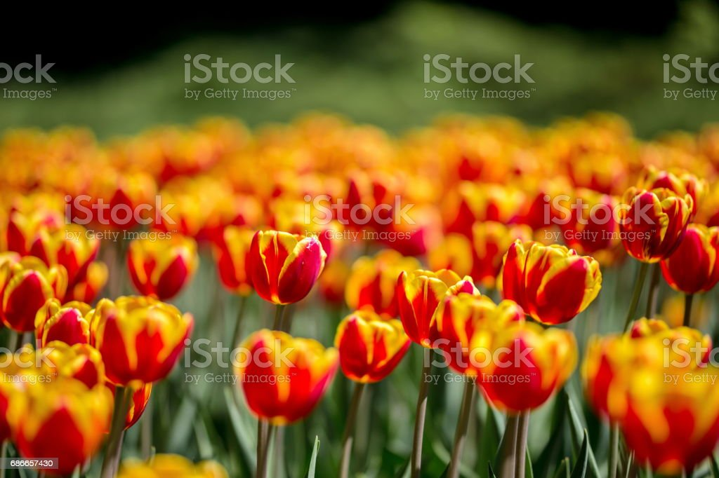 Brightly colored tulips shot at Ottawa in Ontario Canada. royalty-free stock photo