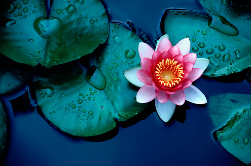 Brightly colored water lily floating on a stil pond