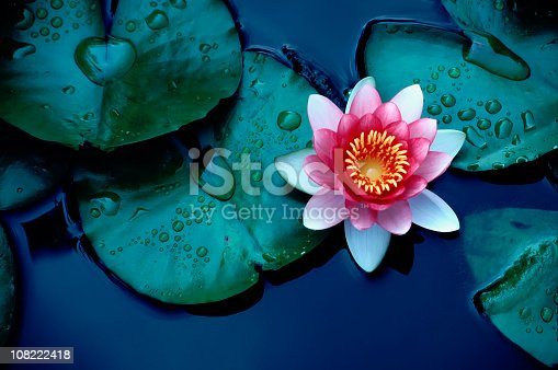 istock Brightly colored water lily floating on a stil pond 108222418
