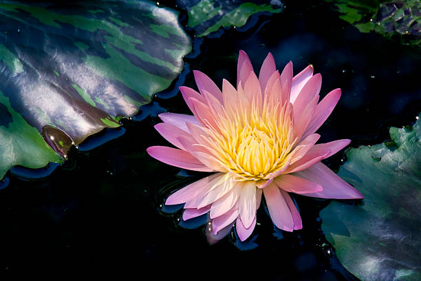 Royalty free purple lotus meaning pictures images and stock photos brightly colored water lily or lotus flower floating on pond stock photo mightylinksfo