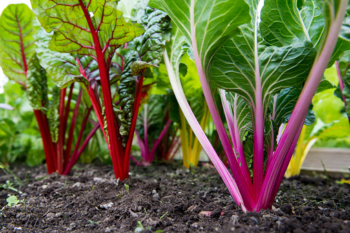 Close up of vibrant colours of stems of rainbow chard grown in a community garden allotment plot.  Chard is a highly nutritious leafy green vegetable and a component of many healthy diets.  July/August, Cheshire, United Kingdom.