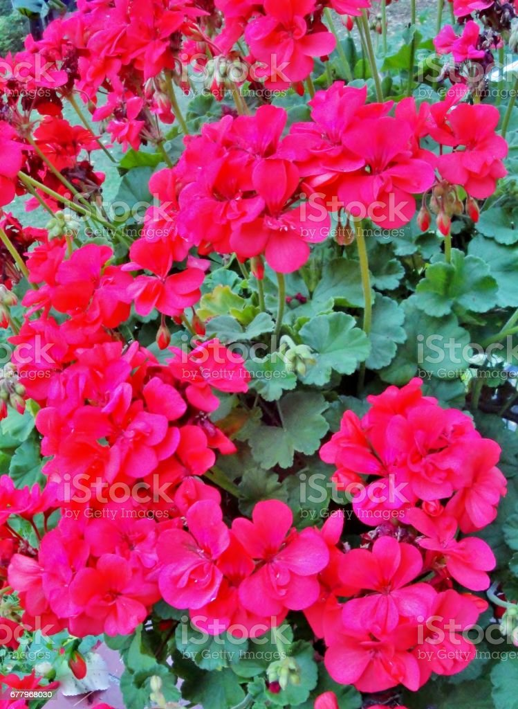 Brightly flowering Geranium royalty-free stock photo