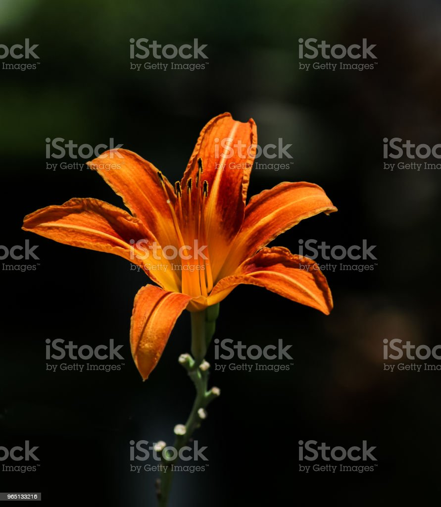 Brightly lit day lily on dark mottled background royalty-free stock photo