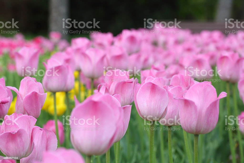 Brightly - pink tulips on a bed in city park royalty-free stock photo