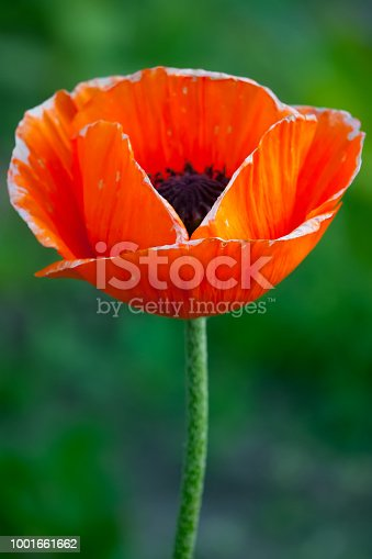 istock A brightly red poppy flower with a blurred background. Petals like flames 1001661662