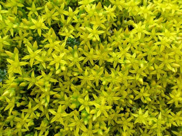 hell gelbe homogene floraler hintergrund vieler röschen-sterne sedum acre - sternmoos stock-fotos und bilder