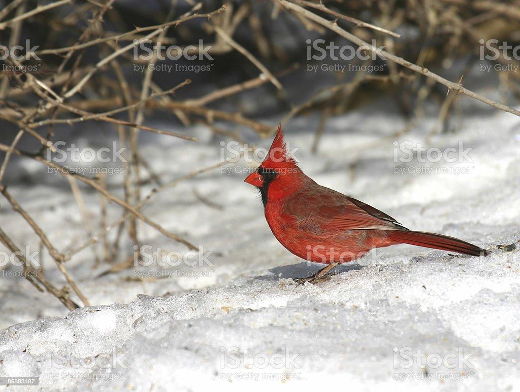 brillaint красный кардинал на снегу скрытой местах Стоковые фото Стоковая фотография