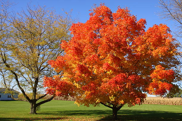 Brilliant Autumn Colors Ablaze in Iowa This tree in a small Iowa town adds a vibrant burst of color in the fall.  ablaze stock pictures, royalty-free photos & images