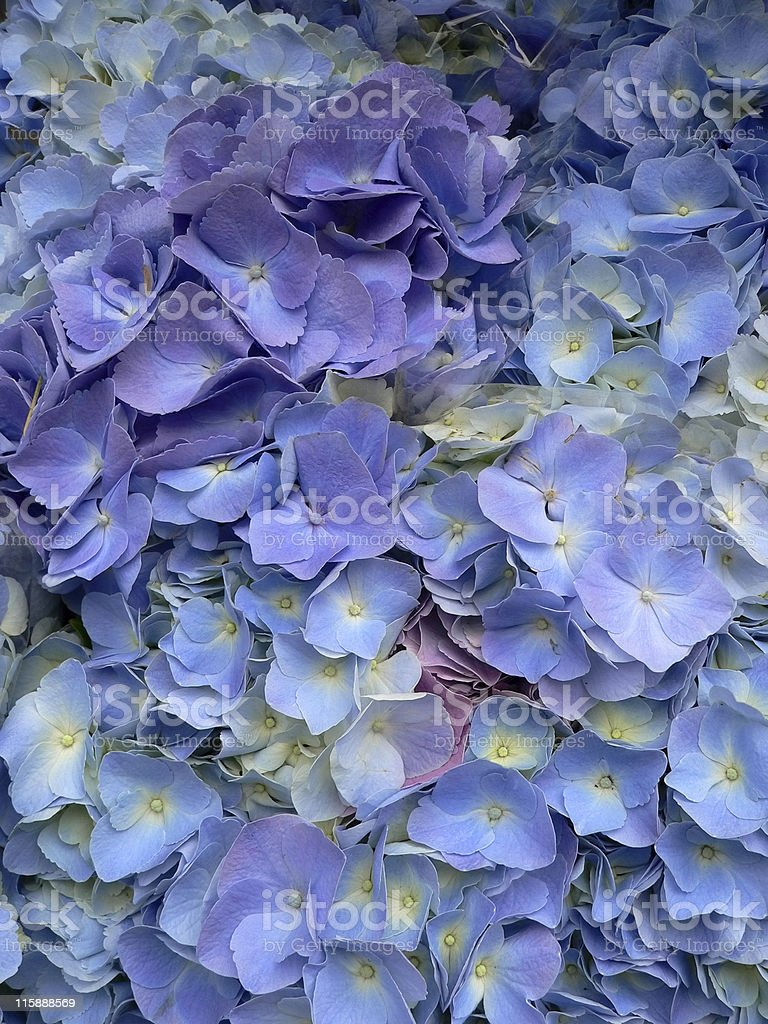Brilliant blue and purple Hydrangea flowers (Hydrangea macrophylla) close-up stock photo
