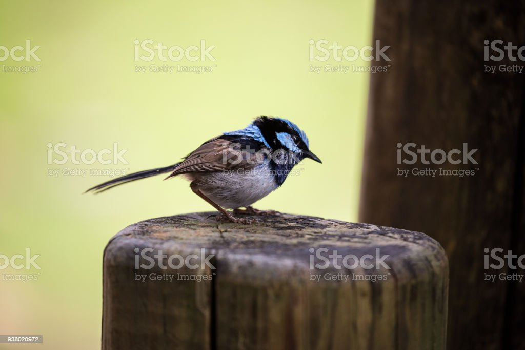 A brilliant blue superb fairy wren isolated on a nature background stock photo