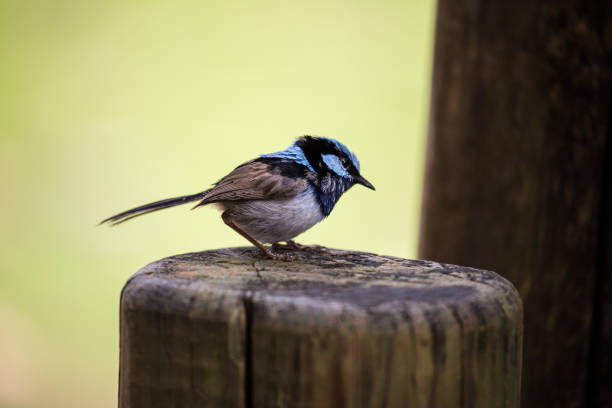a brilliant blue superb fairy wren isolated on a nature background - one animal stock photos and pictures