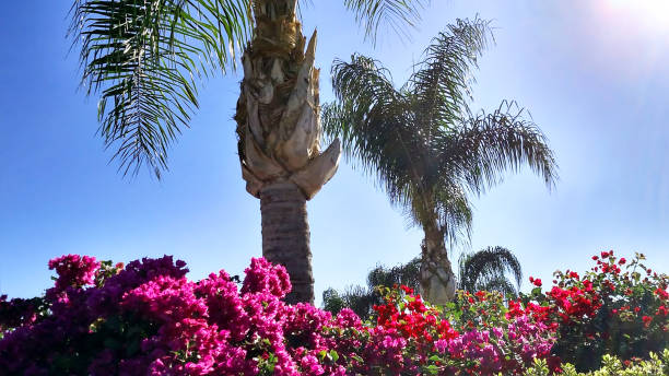 Brilliant bougainvillea flowers along fences in southern California and palm trees in Loma Linda California Brilliant bougainvillea flowers along fences in southern California and palm trees in Loma Linda California redlands california stock pictures, royalty-free photos & images