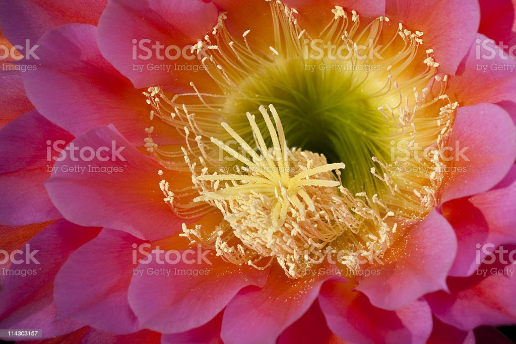 Brilliant Cactus Flower royalty-free stock photo