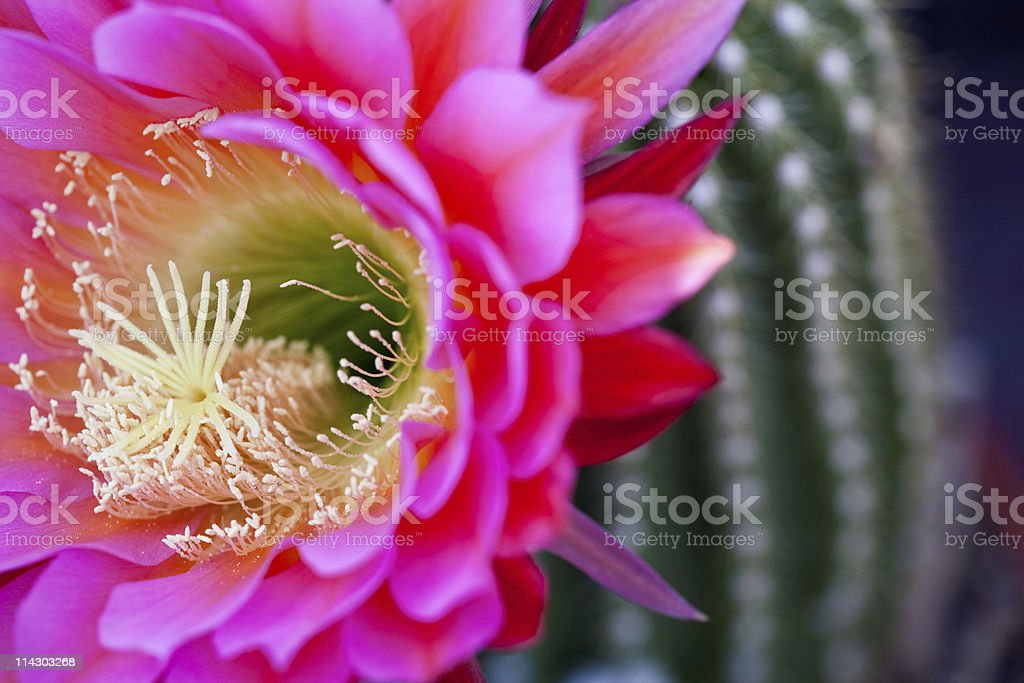 Brilliant Cactus Flower (Horizontal Orientaiton) royalty-free stock photo