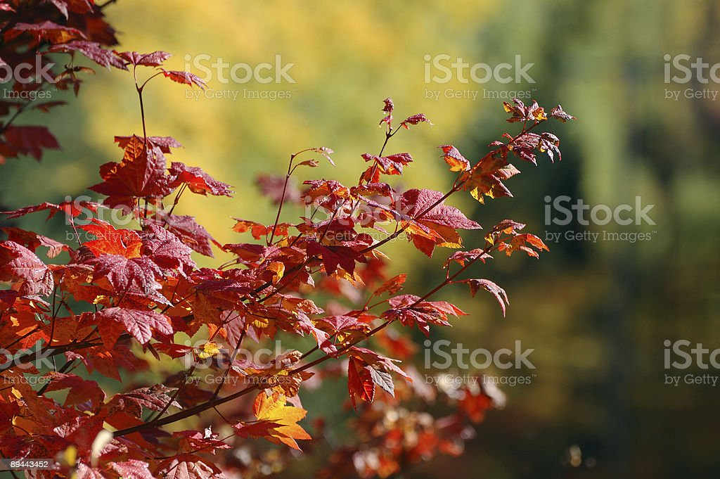 Brilliant Maple in the Fall royalty-free stock photo