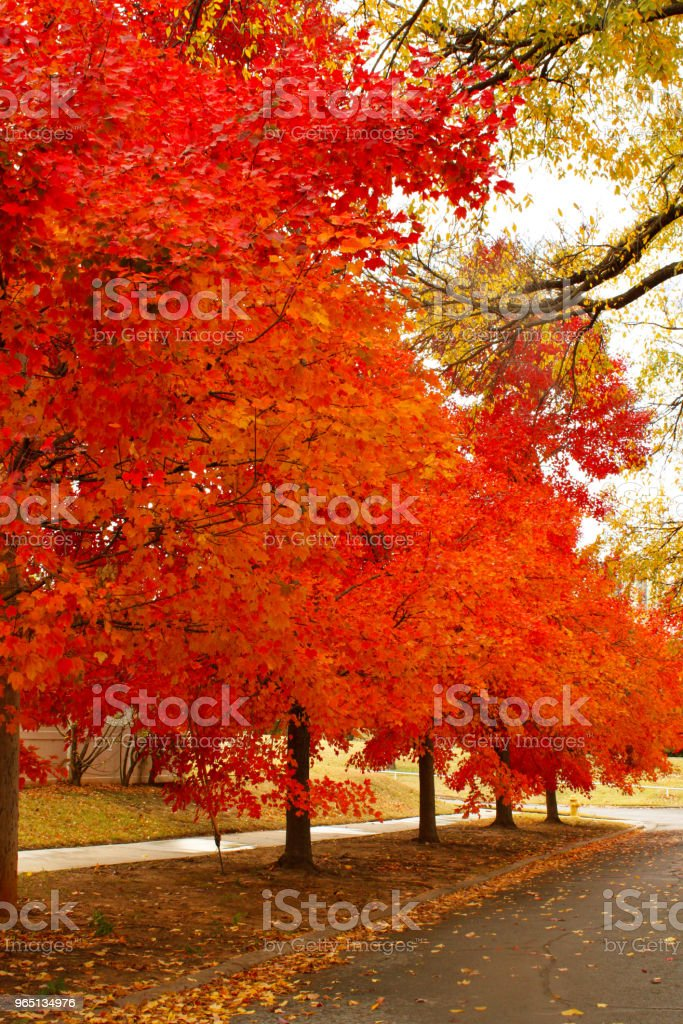 Brilliant Orange and Yellow Autum Leaves on a Boulevarded Street royalty-free stock photo