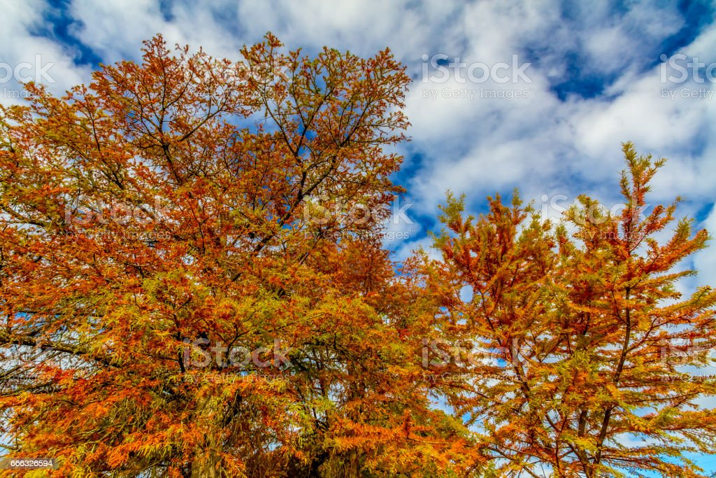 Brilliant Orange Fall Foliage on a Bald Cypress Tree in Texas. stock photo