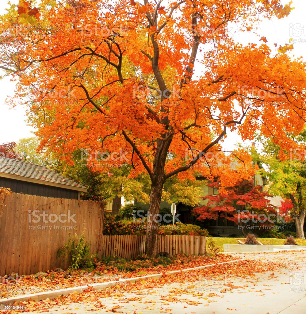 Brilliant orange maple tree on traditional neighborhood street with colorful leaves on the ground zbiór zdjęć royalty-free