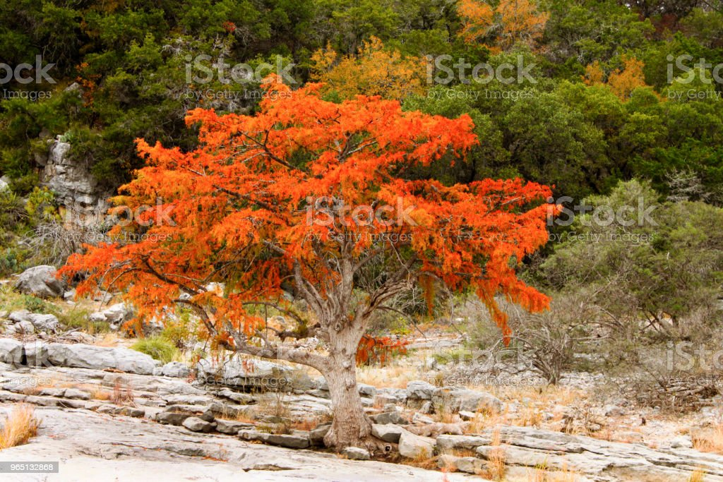Brilliant orange - red tree growing on rocky terrain in front of green hill royalty-free stock photo