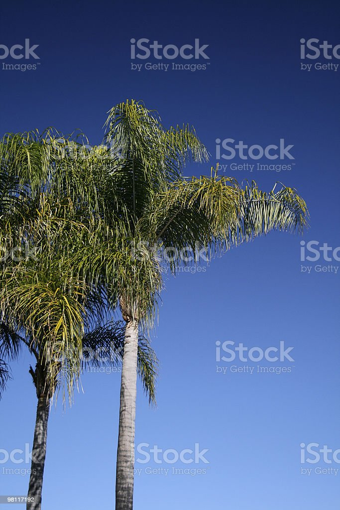 Brilliant Palm royalty-free stock photo