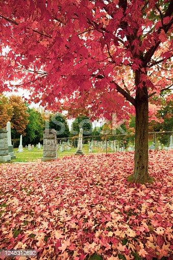 Brilliant red fall leaf drop covering ground under liquid amber tree near graveyard.