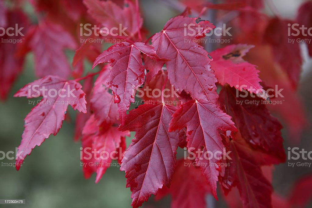 Brilliant Red Japanese Maple Leaves In Fall royalty-free stock photo