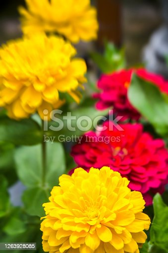 Brilliant Summer flowering plants in a flower pot