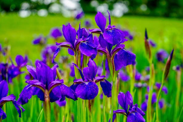 Brilliant Violet Irises in a garden with blurred background stock photo