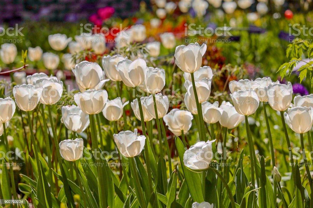 Brilliant White Tulips stock photo