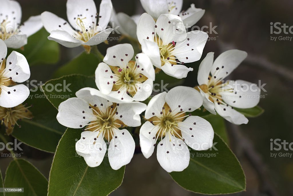 Brilliant whites of Pear blossoms - Pyrus calleryana royalty-free stock photo