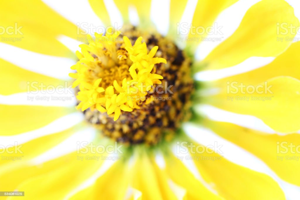 Brilliant yellow flower closeup stock photo