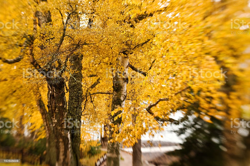 Brilliant yellow leaves at Glacier royalty-free stock photo
