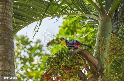 Brilliantly Colored Wild Keel-Billed Toucan in Soberanía National Park of Gamboa, Panama